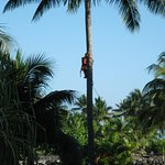 Watch the gardiners climb the coconut trees to trim the coconuts so they do not fall on your hea