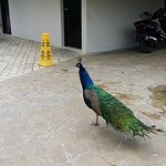 one of many peacocks