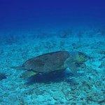 Loggerhead turtle... a rare sight in Grand Cayman. Found at killer pillar dive site.