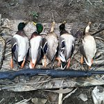 November Greenheads in the Eastern Finger Lakes.