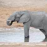 elephant at waterhole near dining area