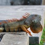 Wild iguana in Key West Cemetery