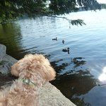 Ducks and puppy