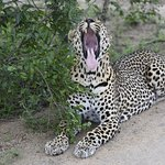 A tired leopard