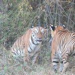 Tiger sighted