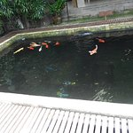 Pond of colored fishes.