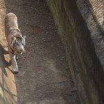 Black tiger in Nandankanan Zoo