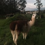 There is a soccer field behind the pool, and some llamas roam around back there. The manager let