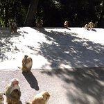 雞足山上有野生猴群, 可遠觀, 但不建議靠近