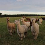 Gaye's pet alpacas are close to the house & always hungry for snacks!