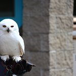 This is the Snowy Owl