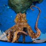 Octopus saying hello