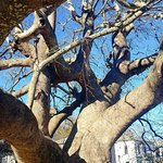 1000 year old tree in Tsagarada