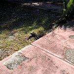 lots of iguanas
