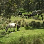 Wild Brumbies on the property
