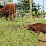 Cows run free on Norfolk Island. Speed limit is 50km/hr