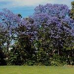 Jacarandah in flower
