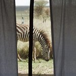 Zebra from our tent