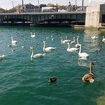 Лебеди на озере у площади Бельвью