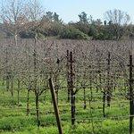 Vineyard December 2016, DeLoach Vineyards, Santa Rosa, CA