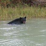 another bear having a swim