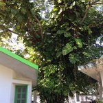Beautiful variegated monstera vine in courtyard tree