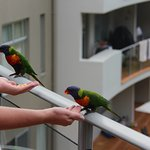 Feeding rainbow lorikeets from our balcony