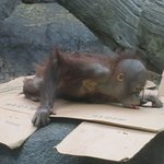 Baby Orangutan enjoying a little enrichment on the box