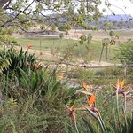 Birds of Paradise in the foreground, African Plain in the background.