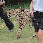 Amari the cheetah at the run.