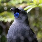 A kokako - such a striking blue.