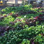 Salad and herbs in the garden