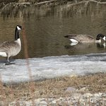 Geese by the Creek