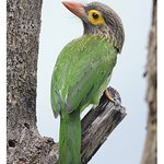 A Brown-headed Barbet that visited a dead tree outside my lodge room.