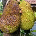 """Jack Fruit"" trees with fruits."
