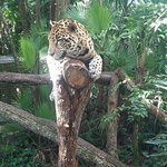 One of several Jaguars at the zoo