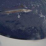 Short Billed Spearfish