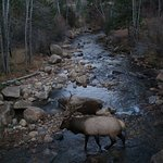 Elk in the river at the inn