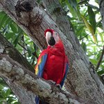 Turquoise macaw, flying free at Mi Finca