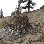 Fossilized Sequoia