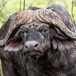 Cape Buffalo at Shingwedzi