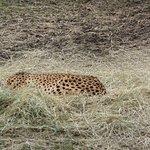 Cheetah -- Sleeping