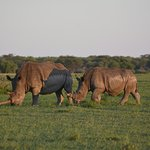 Dusk at Khami Rhino Sanctuary, 2 fine specimens just off the park road