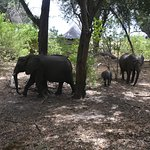 Elephants nonchalantly walk through lodge grounds