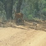 Busy road back from China Camp - a very new fawn with mother