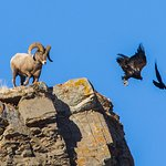 Ram and raven chasing away a Golden Eagle at Miller Butte