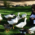 Resident ducks at Two Bunch Palms greet every guest