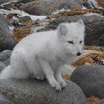 arcitc fox