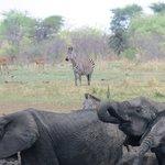 Elephants at mikumi national park
