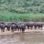 Some buffalo